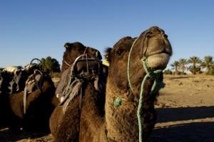 Kamel, Sahara