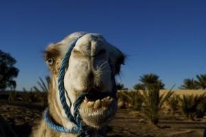 Kamel in Marokko