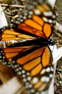 Monarch Butterfly, Mexiko