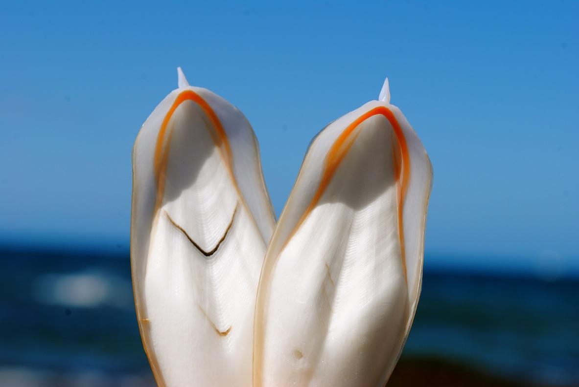 Muscheln, die wie Maria aussehen