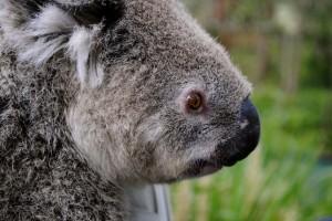 Koala, Killcare