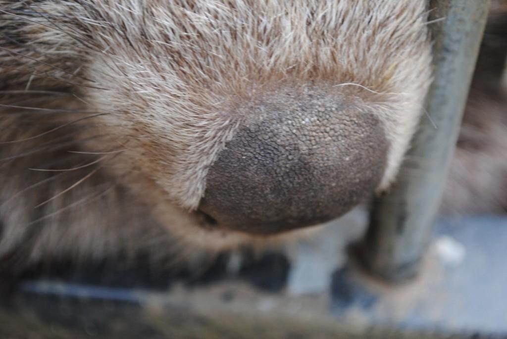 Wombat Nose