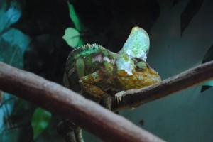 Chameleon, Killcare