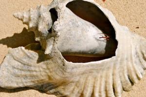 shell, San Blas, Panama