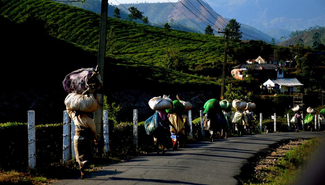 Tea plantations, Munnar
