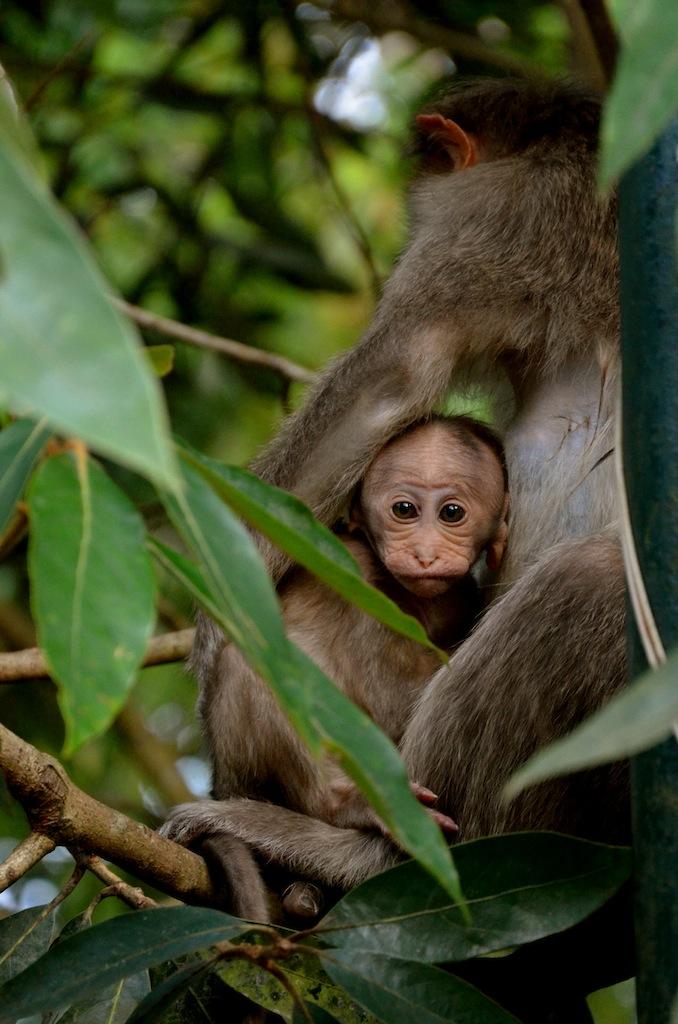 baby monkey, india