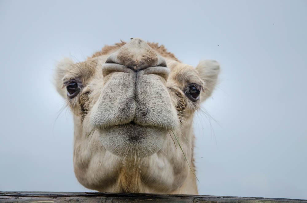 camel, florida