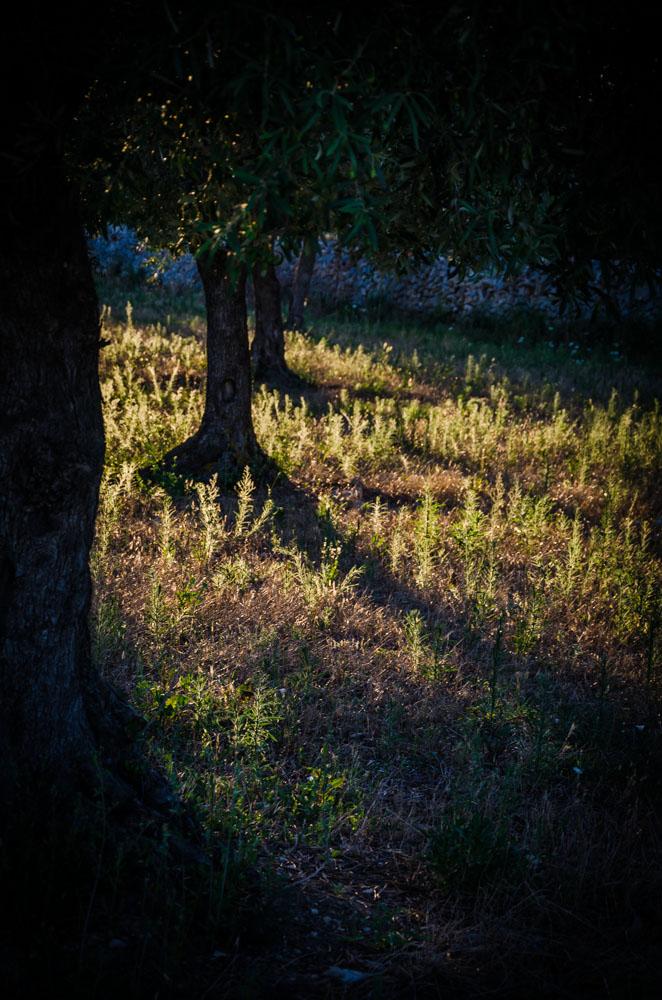 Olivenbäume, Apulien