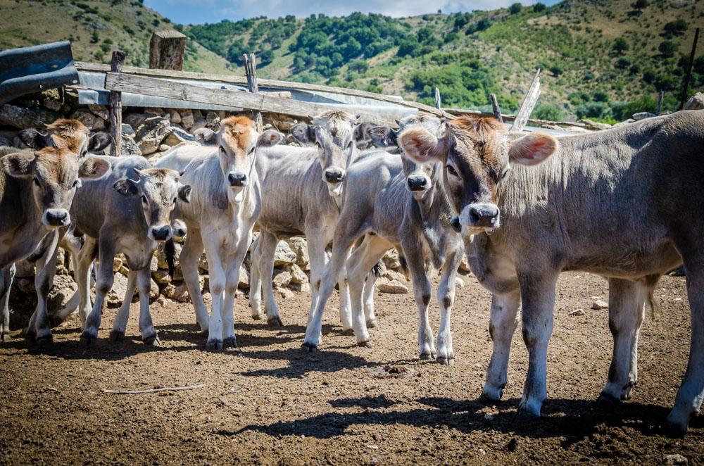 Kühe, Gargano