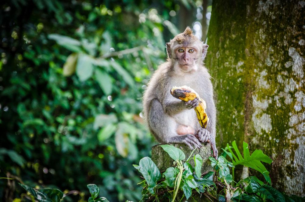 monkey forest sangeh