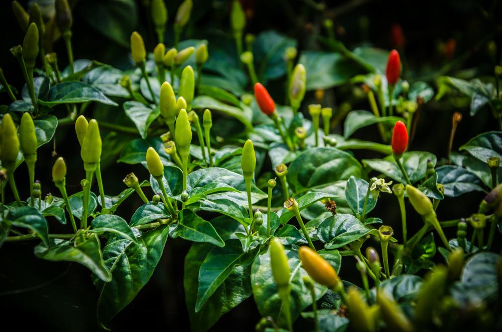 chili plant, Benito Juarez, Veracruz