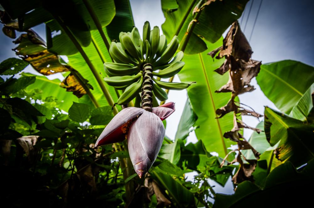 banana tree, Benito Juarez, Veracruz