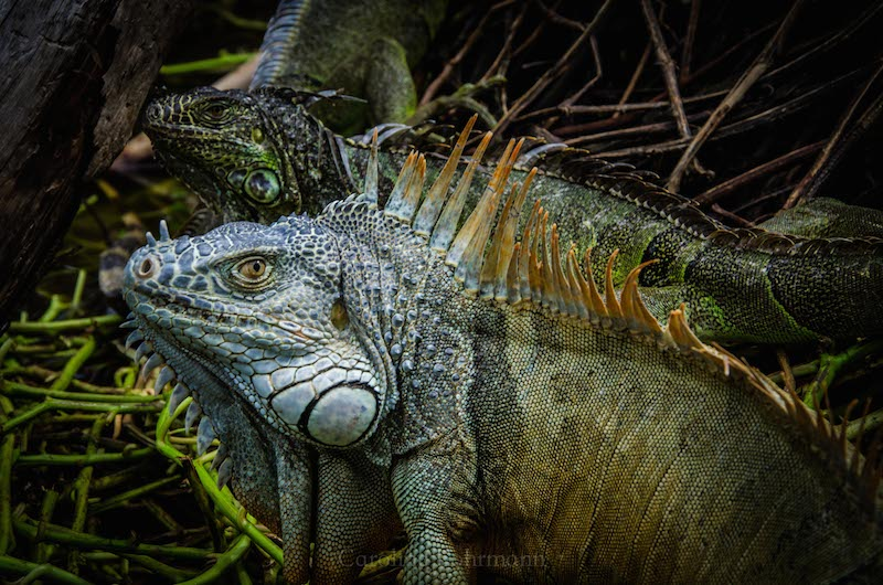 Iguana Ventanillas