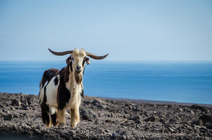 Ziege Fuerteventura