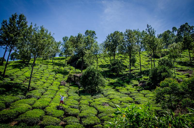 munnar Teeplantage