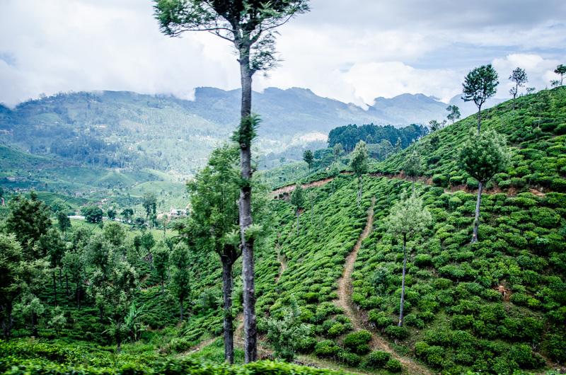 Teefeld Sri Lanka