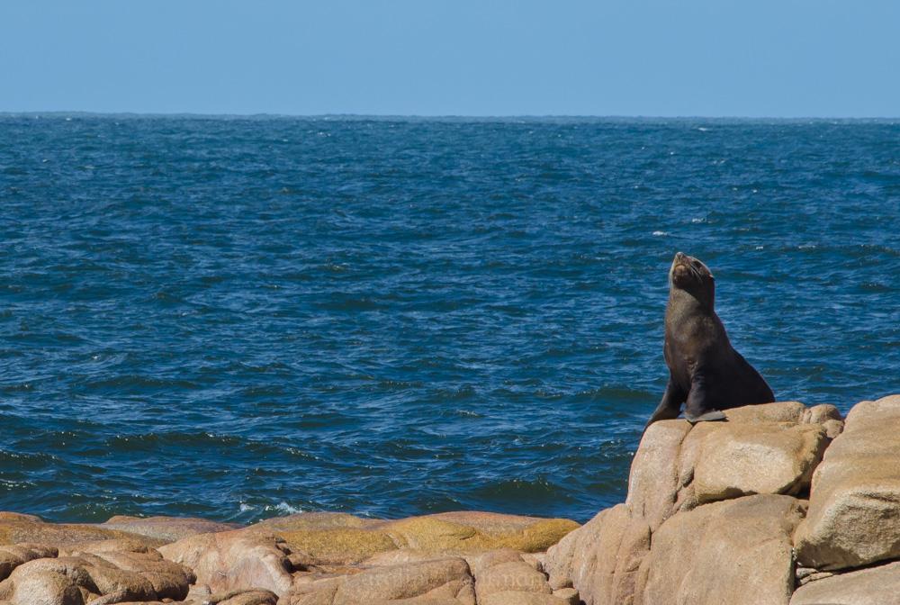 Seehund Cabo Polonio