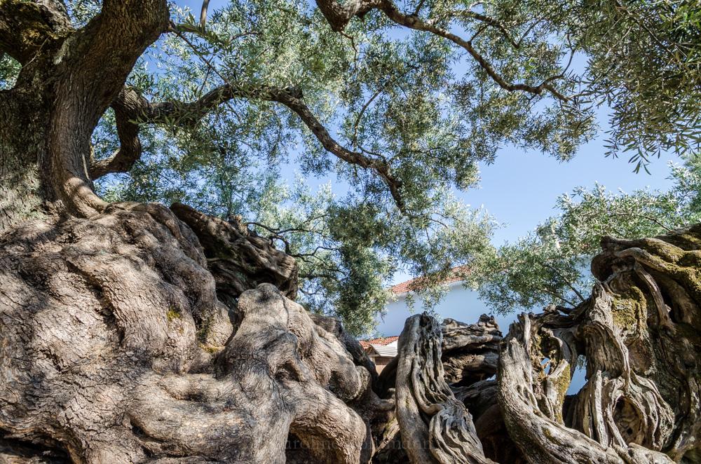 ältester Olivenbaum Zakynthos