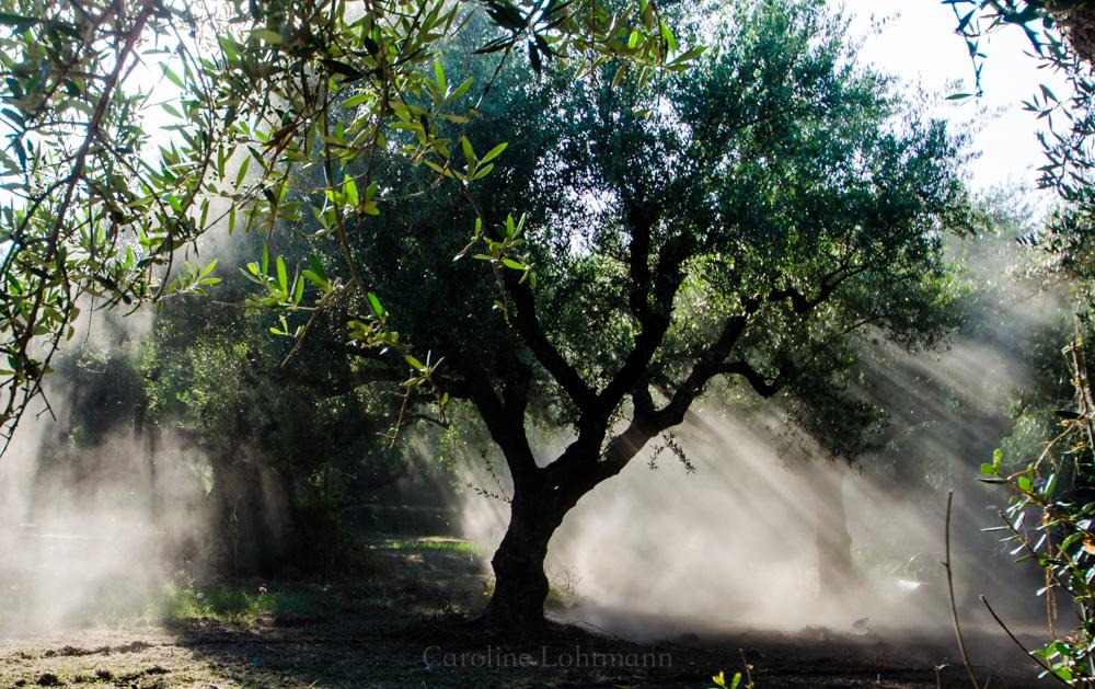Olivenbaum Zakynthos
